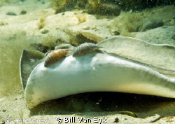 Juvenile stingray with sea lice on its wings.  It appeare... by Bill Van Eyk 